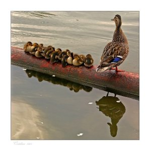 Large family of duck and ducklings