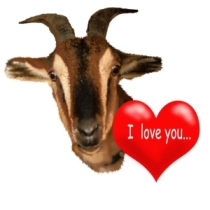 Goat Valentine love you