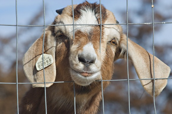 Goat in Jail best